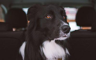 ¿Cómo evitar que tu perro se maree en el coche?